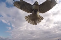 Odgovor prirode na tehnologiju – soko obara drona