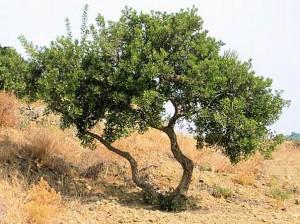 stablo-mastike
