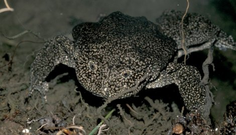 titikaka-žaba