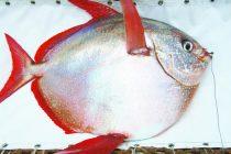 Otkrivena prva toplokrvna riba