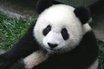 Maženje beba pandi – posao iz snova?