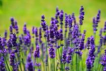 Zdravo i mirisno ulje lavande