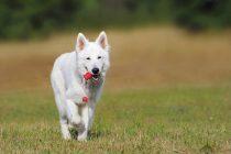 Kako su godine stvaranja rasa izmenile mozak pasa?