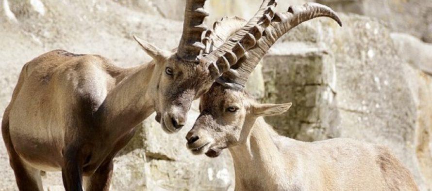 Ovo je jedina životinja koja je dva puta izumrla