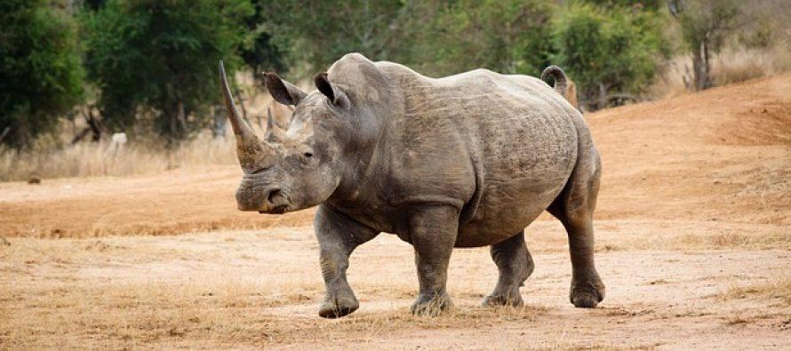 Ovako izgleda poslednji mužjak severnog belog nosoroga