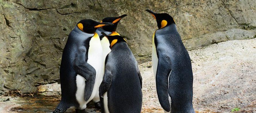 Praistorijski pingvini su bili veliki kao čovek