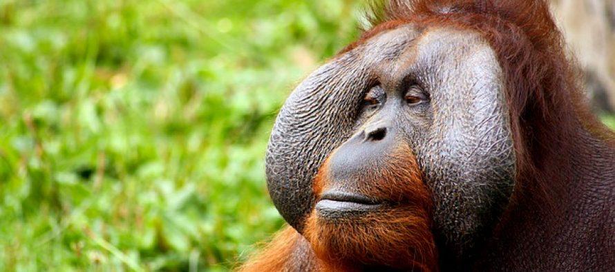 Prvi put u istoriji dokazano je da se orangutani samostalno leče