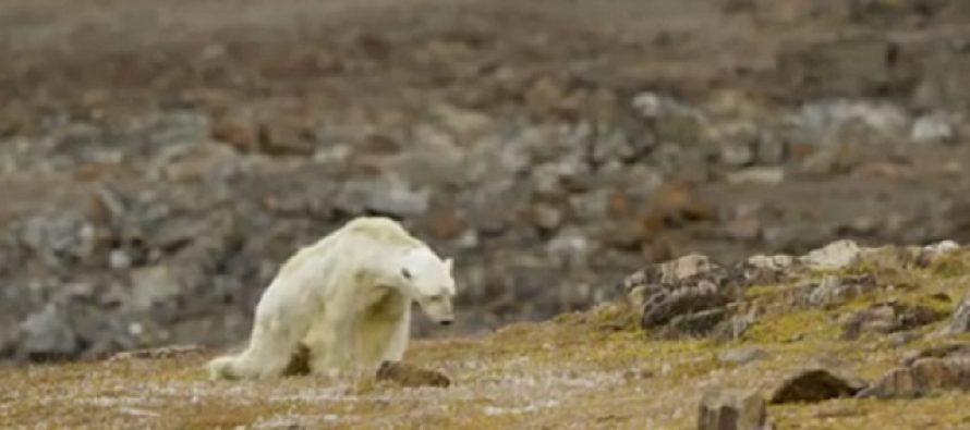 Snimak koji je rasplakao ceo svet: Izgladneli polarni medved
