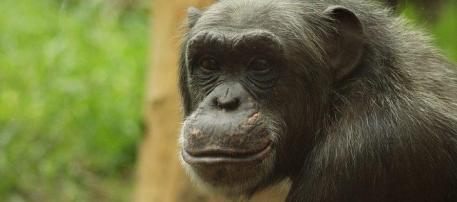 Koje su to sličnosti između čoveka i šimpanze?