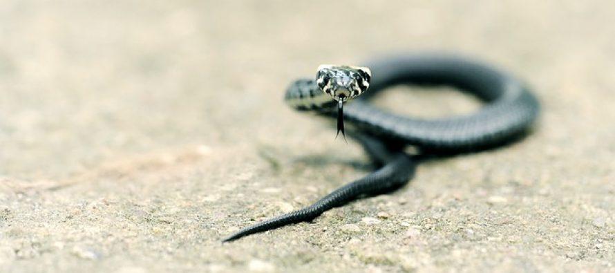 Gde vrebaju najopasnije zmije?