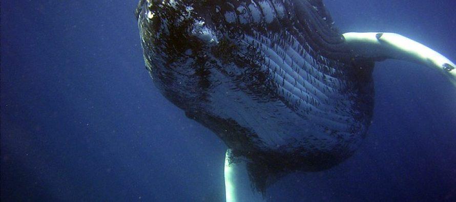 Zašto su kitovi tako veliki?