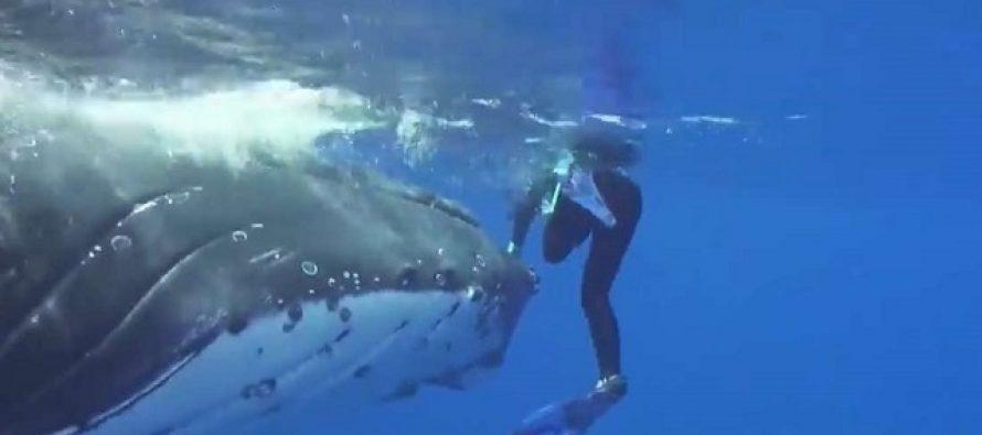 Neraskidiva veza čoveka i životinja: Kit spasao ronioca od napada ajkule! (VIDEO)