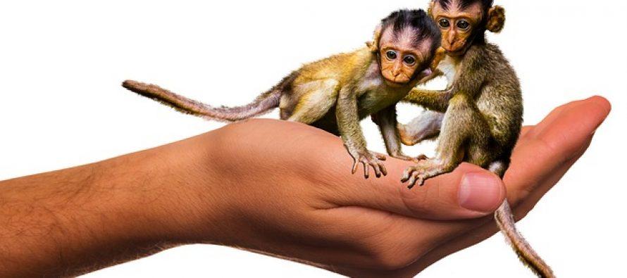 Posle ovce Doli, istom metodom, naučnici klonirali majmune