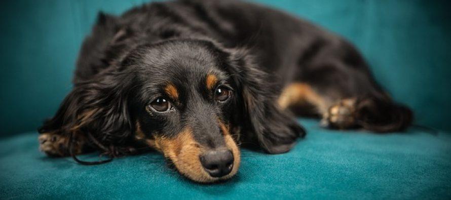 """Nauka otkriva kako nas psi """"teraju"""" da ih zavolimo"""