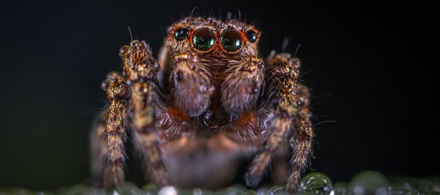 Čak sedam novih vrsta pauka otkriveno u Brazilu