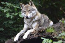 Povećala se populacija vukova u Evropi!