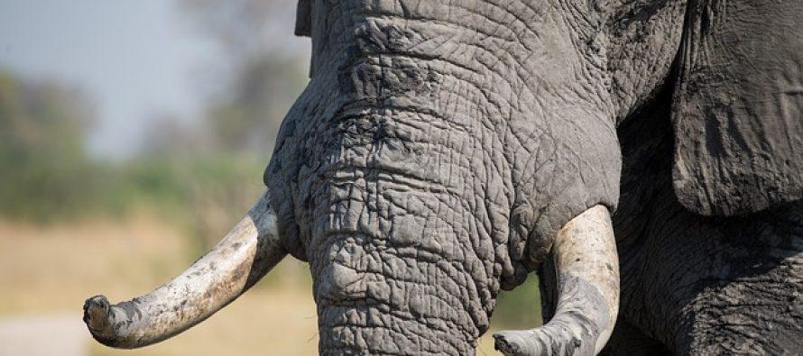 Hong Kong stao na put trgovini slonovače