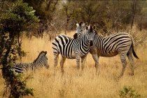 Da li ste se ikada zapitali zašto zebre imaju pruge? Nova studija nam je objasnila!
