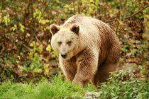 Kako su neandertalci lovili džinovske praistorijske medvede?