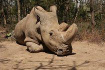 Uginuo je Sudan: Poslednji mužjak severnog belog nosoroga