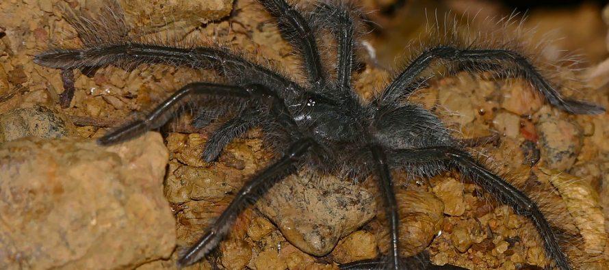 Najveći pauk na svetu