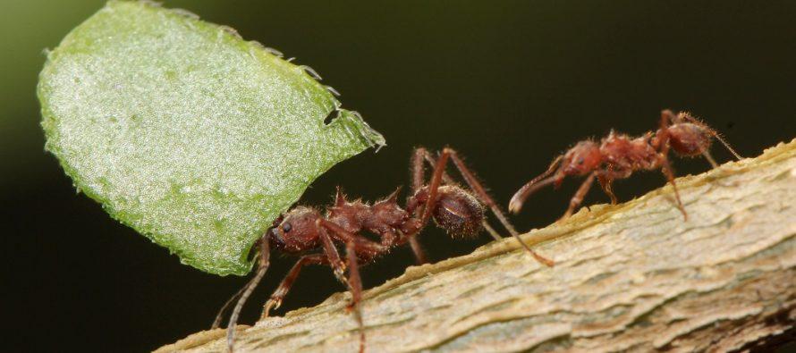 Ova mušica ubija mrave na jeziv način!