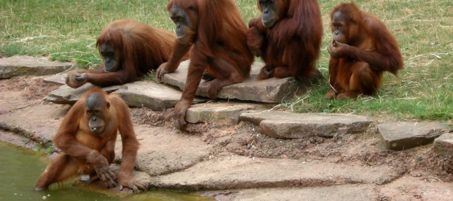 Kako palmino ulje utiče na život orangutana?