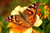 Koji insekt može da preleti 4000 kilometara bez prestanka?