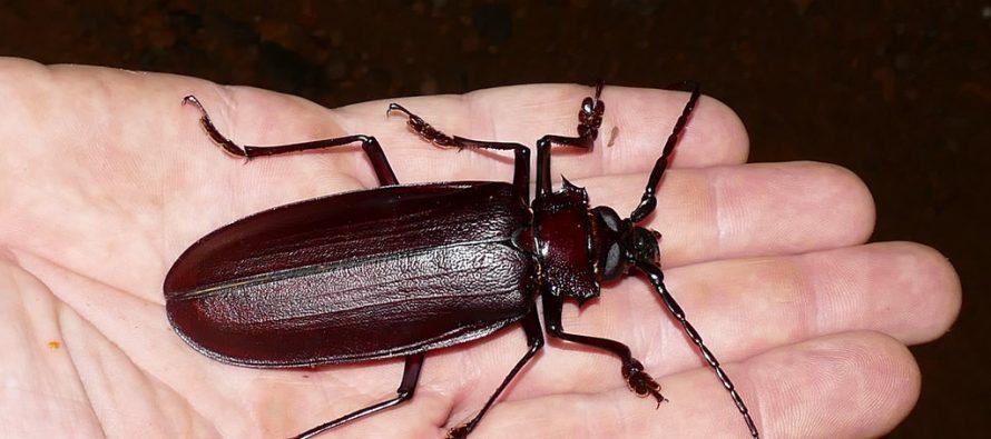 Koji su to najveći insekti na svetu?