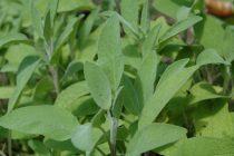Žalfija – jedna od najlekovitijih biljaka na svetu