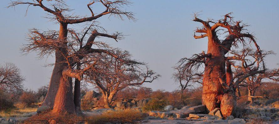Baobabi u Africi pred izumiranjem
