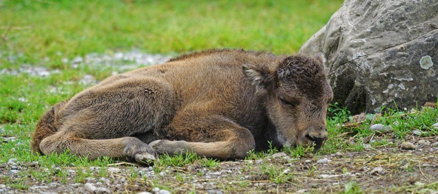 Ugrožena vrsta bizona ponovo na holandskim obalama