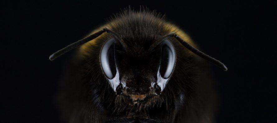 Verovali smo da je najveća vrsta pčele na svetu izumrla