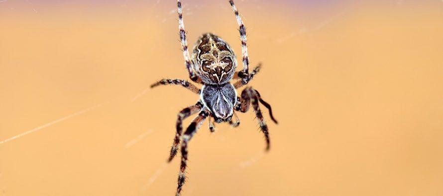 Šta se događa kada progutamo pauka?