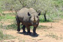 Crni nosorozi na granici da izumru?