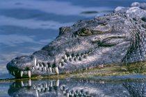 Uhvaćen najveći krokodil na svetu!