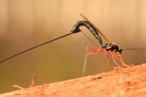 Otkrivena nova vrsta ose u Amazoniji