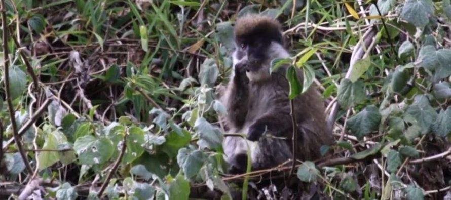 Pripadnici jedne vrste majmuna imaju različit DNK?