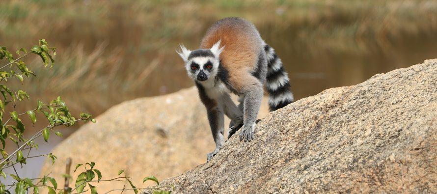 Da li su lemuri najugroženija vrsta?