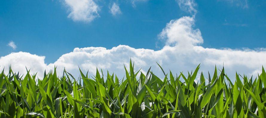 Šta znamo o kukuruzu?