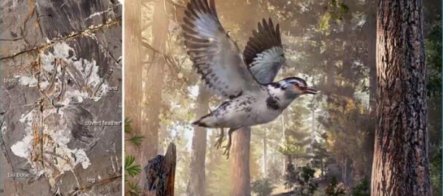 Otkriven fosil kratkorepe ptice star 127 miliona godina