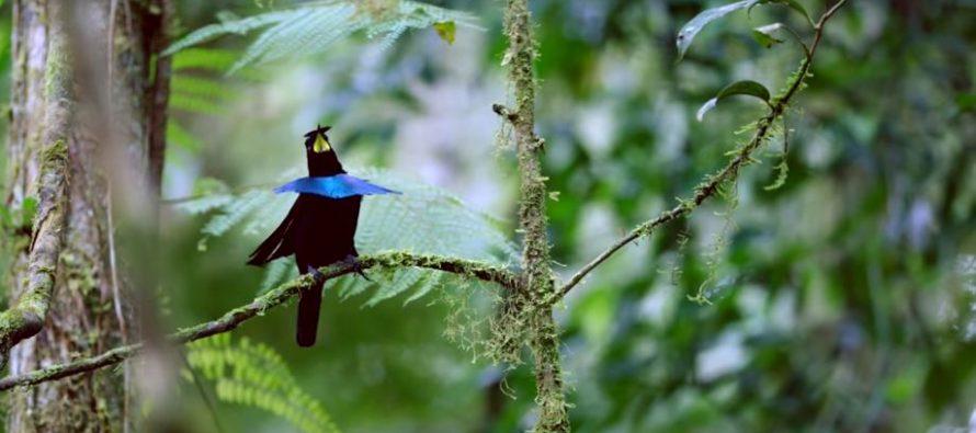 Otkrivena nova vrsta rajske ptice!