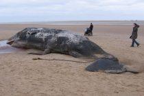 Na novozelandsko ostrvo nasukalo se 145 kitova?