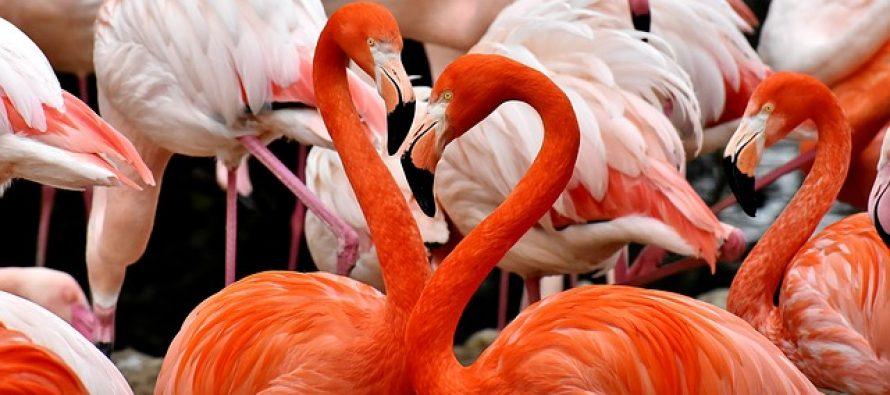 Zašto su flamingosi roze boje?