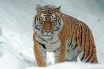 Za manje od deset godina, tigrovi bi mogli da nestanu sa lica Zemlje?