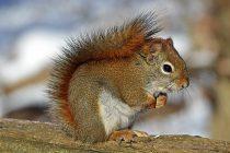 Otkrivena nova vrsta džinovskih veverica šarenog krzna