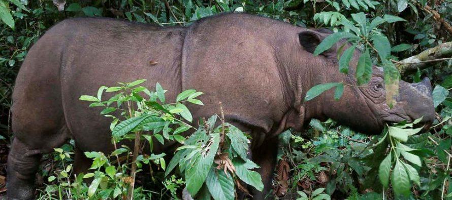 Poslednji sumatranski nosorog u Maleziji uginuo