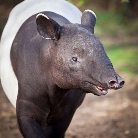 azijski-tapir