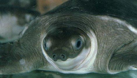 kornjača-svinjskog-nosa