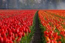 Upoznajte cvetnu stranu Holandije